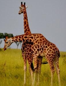 Two Giraffes hugging!
