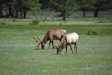 Elk in Estes Park (*Moose to my colleagues)