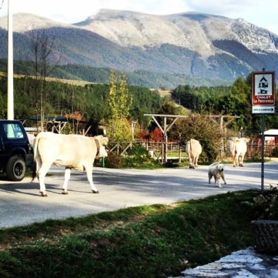 Cows on the road, Italy 2