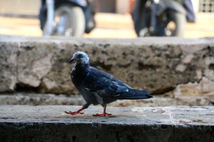 Pigeons just strutting about