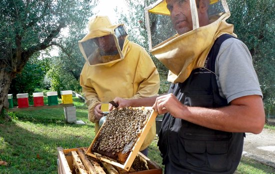 SWEET JOB: Papal beekeeper Marco Tullio Cicero, right, shows off the honeycomb covered with worker bees making honey for the winter and Pope Francis at the papal villa at Castel Gandolfo, outside Rome. Sept. 12. CNS photo/Carol Glatz