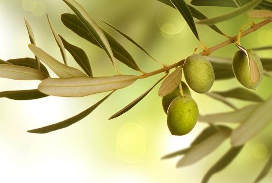Olive Branch border design. Growing Olives