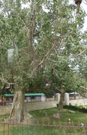 Jericho sycamore tree