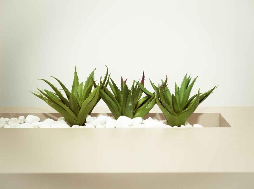 8 Indoor Plants You Can Grow this Winter Season - Aloe Vera