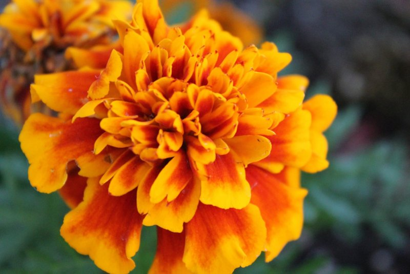 8 Winter Plants To Grow Indoors - Marigold