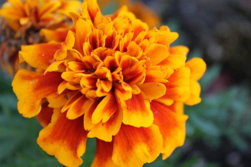8 Winter Plants To Grow Indoors - Marigold