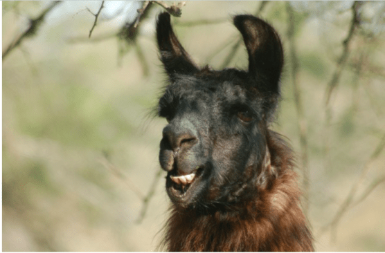 The actual feisty Argentine llama that starred in Antrese Wood's most popular post to date. No llamas were truly harmed by Wood. From the artist's guide to successful art blogging post.