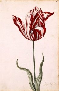 "Anonymous 17th-century watercolor of the <span style=""color: #ff0000;"">Semper Augustus</span>, famous for being the most expensive tulip sold during tulip mania."