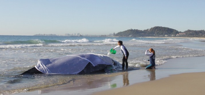 Stranded whale being cared for by Seaworld Crew