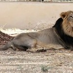 One other lion succumbs to COVID-19 at Chennai zoo, lioness had died earlier | Information