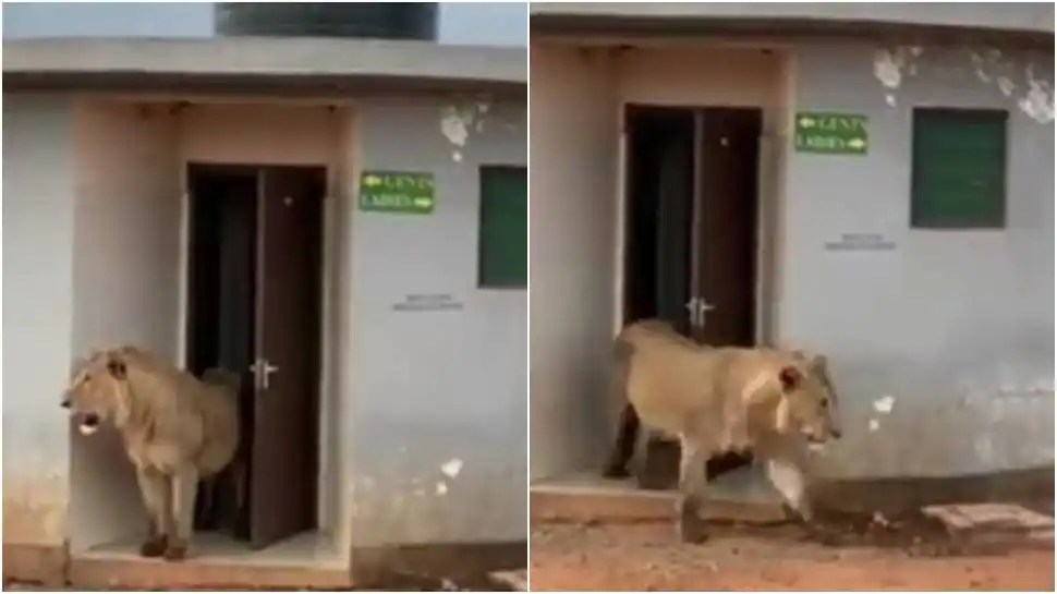 Lion seen coming out of washroom during safari, netizens applaud its 'hygiene' - WATCH