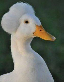 White Crested Ducks