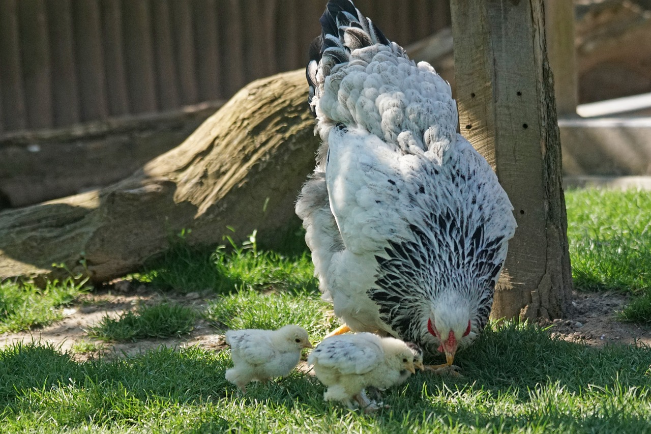 10 Amazing Features of Light Brahma Chicken You Need to Know