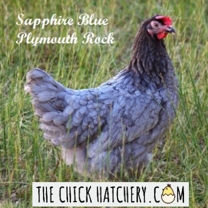 Sapphire Blue Plymouth Rock