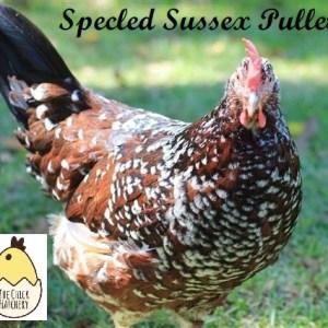 Speckled Sussex Pullet