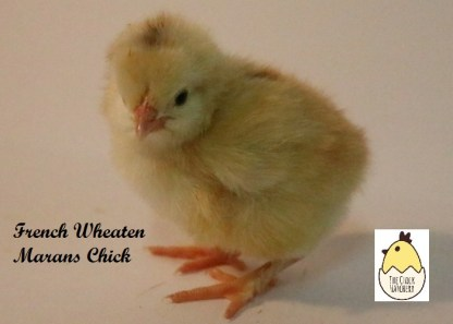 French Wheaten Marans