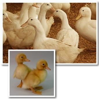 Hybrid Jumbo Pekin Duck