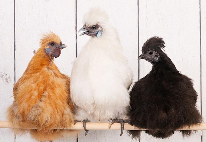 Silkie Bantam Assortment – The Chick Hatchery