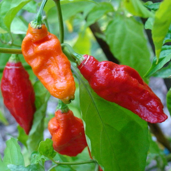 Naga Bhut Jolokia Ghost Pepper