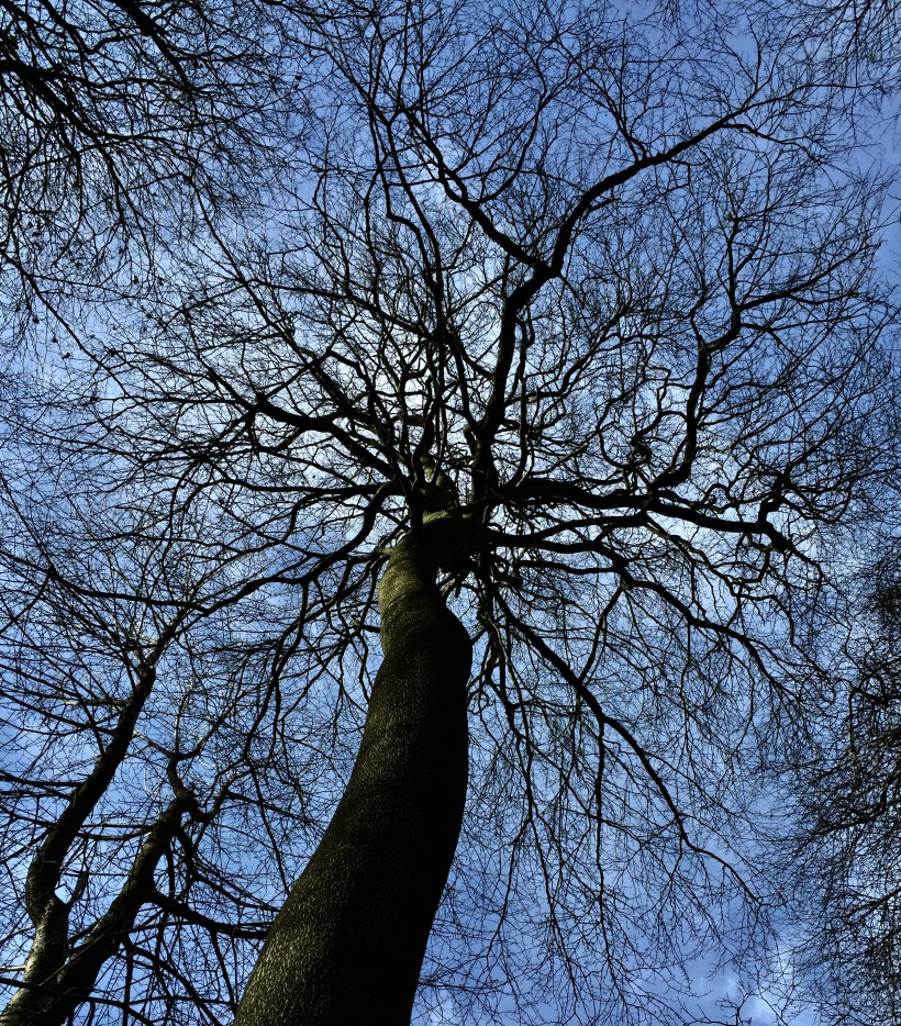 The mighty beech trees in Pigotts Wood