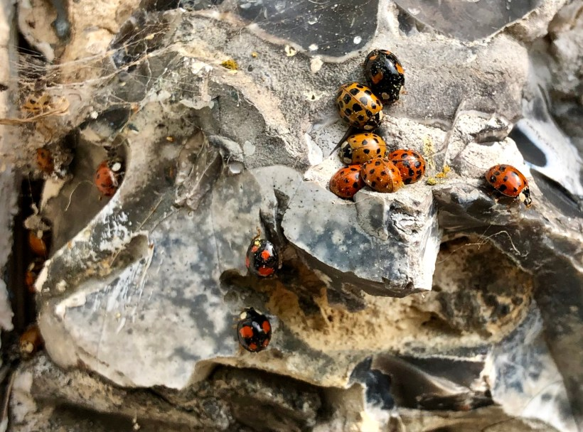 The collective noun for ladybirds is a loveless of ladybirds.