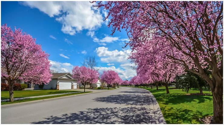 Cherry Blossom lined street
