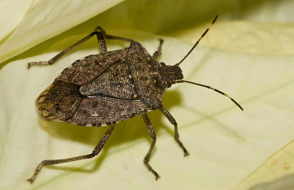 Photo of a stink bug