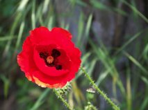 within a red poppy,