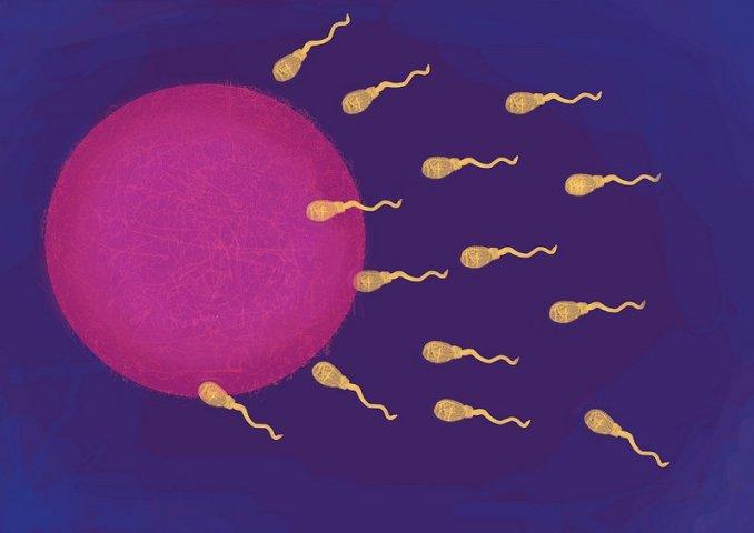 The Fertilisation of an egg. Maria Mellor (flickr).
