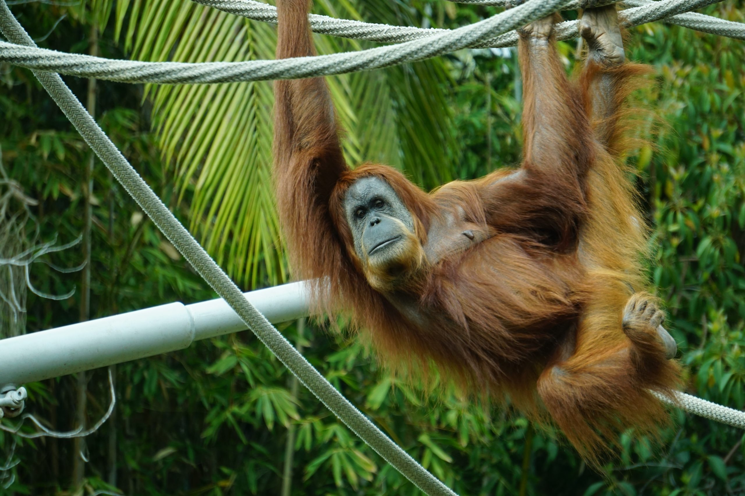 brown-primate-hanging-on-tree-1123771