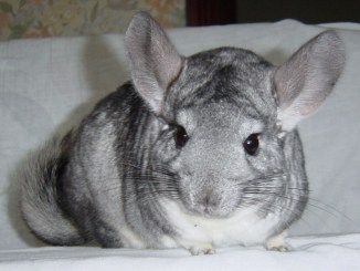 Chinchillas require responsible ownership. Photo courtesy of @darzeebs via freeimages.com
