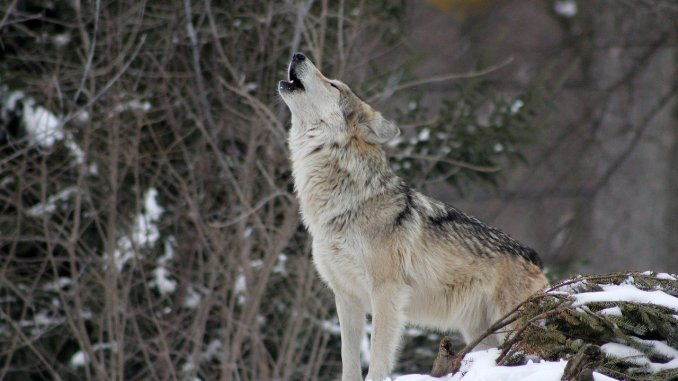 A lone wolf standing in the snow and howling.