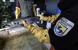 In this Oct. 20, 2014, photo, Steve Damm, a biologist with the U.S. Fish and Wildlife Service, holds a salmon that died from four hours of exposure to unfiltered highway runoff water at the Grovers Creek Hatchery in Poulsbo, Wash. (AP Photo/Ted S. Warren)