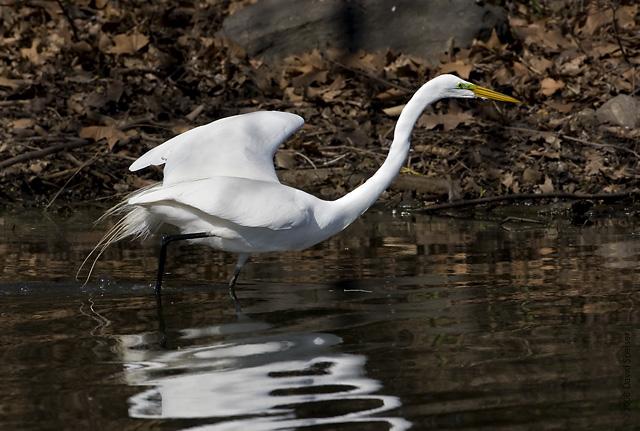 Great Egret in Central Park