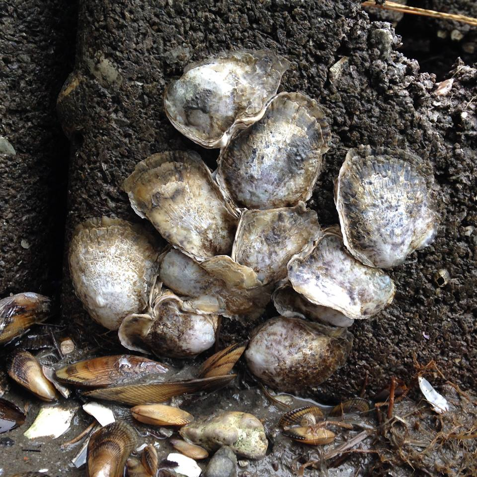 During oyster monitoring at Gandy's Beach Preserve, USFWS and project partners were surprised to find so many naturally recruited oysters at one of their potential restoration sites.