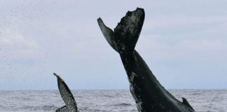 Whale watching season lasts four months along the Pacific.