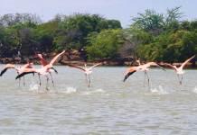 Flamingos in Colombia's La Guajira department. (Photo by Jacqui de Klerk)