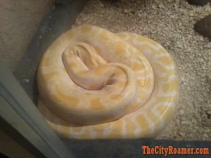 Albino Python at Zoobic Safari's Serpentarium