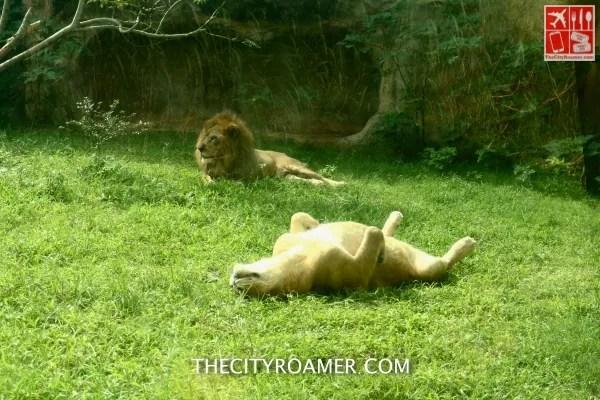 Lions at Taipei Zoo