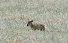 41-Coyote