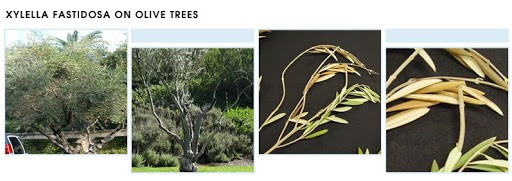 What is Xylella and which nut trees are affected?