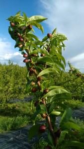 nectarines full