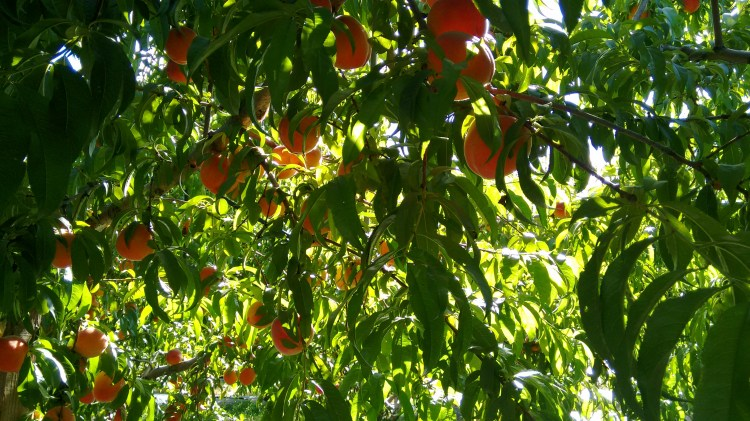 peach jungle