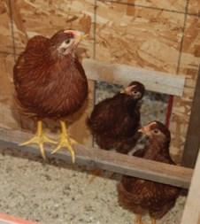 7 Week Chicks | The Coeur d'Alene Coop