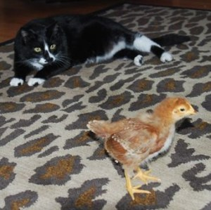 Cats and chicks |The Coeur d'Alene Coop