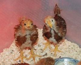 Chicks | The Coeur d'Alene Coop