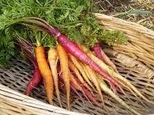 Rainbow Carrots | The Coeur d Alene Coop