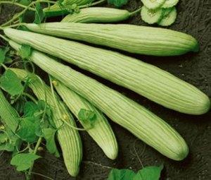 Armenian Cucumber | The Coeur d Alene Coop