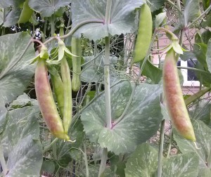 Blush Spring Tendril Pea | The Coeur d Alene Coop