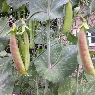 What to Plant in Your Veggie Garden Now